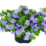 Bacopa Sutera diffusus Scopia® Guliver Blue