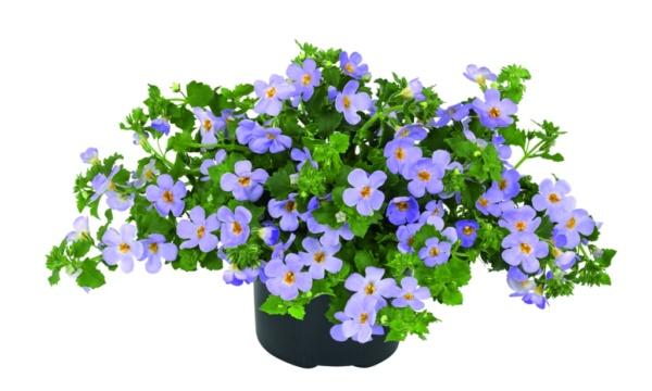 Bacopa Sutera diffusus Scopia Guliver Blue