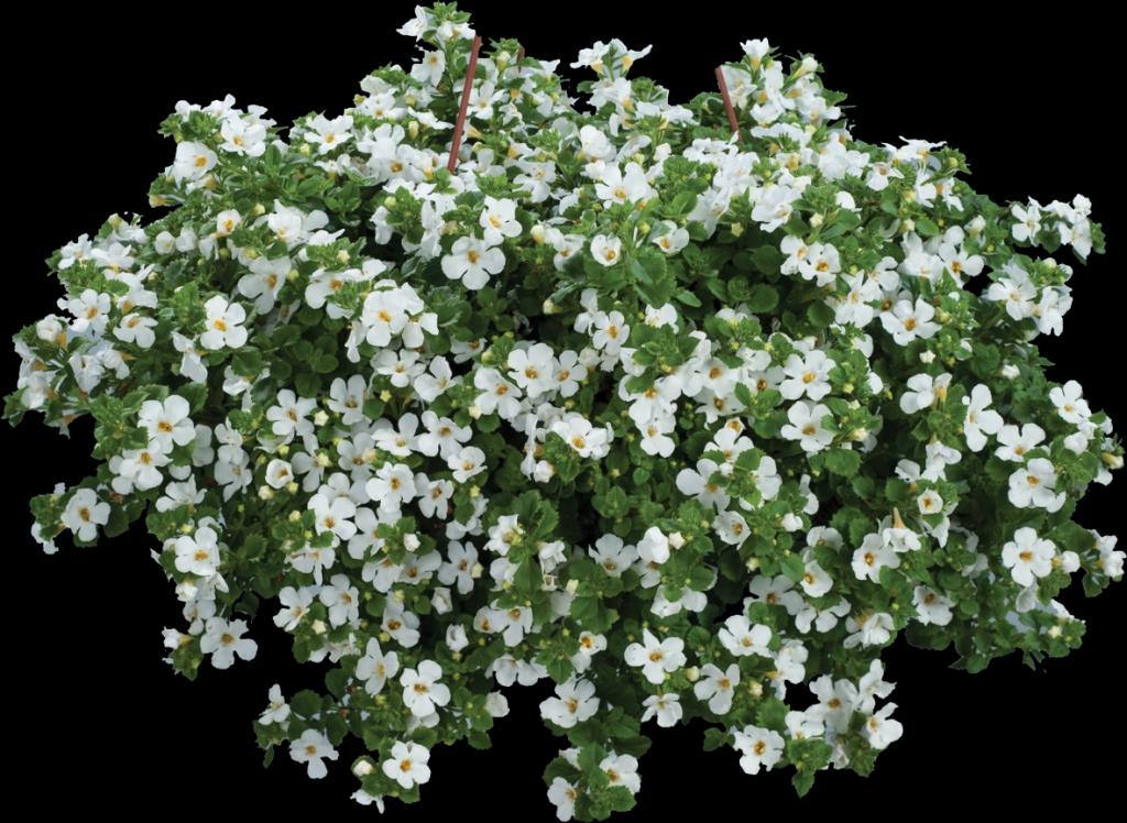 Bacopa Sutera diffusus Scopia® Guliver Compact White