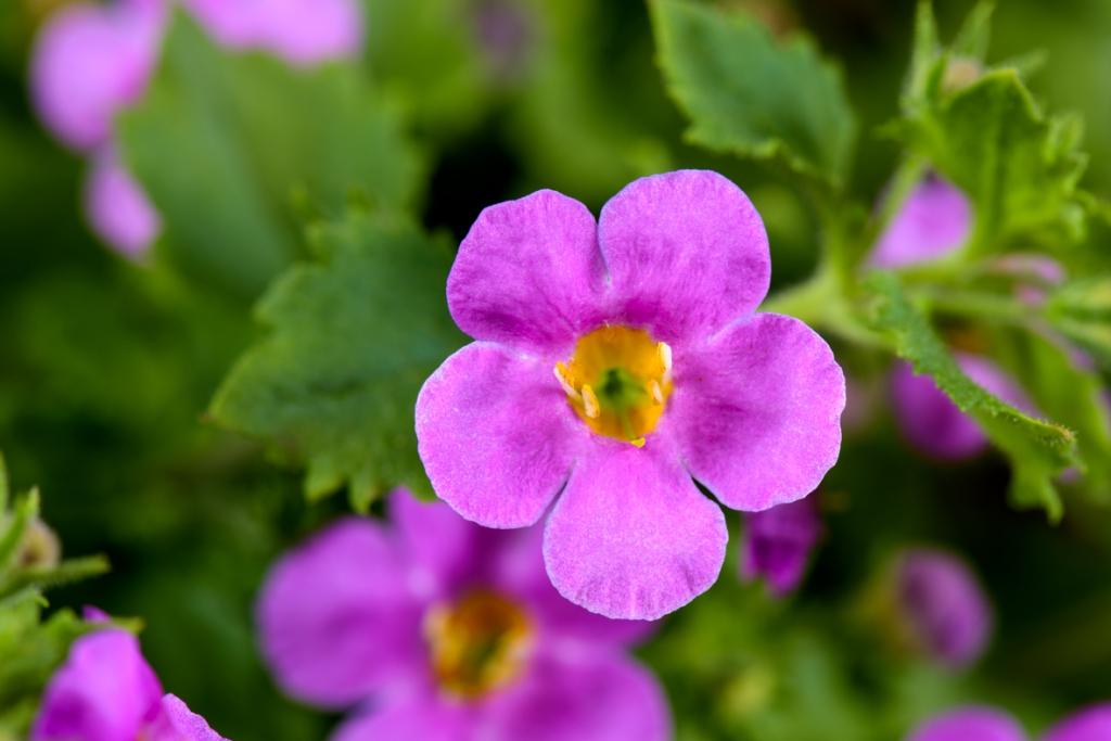 Bacopa Sutera diffusus Scopia Guliver Pink