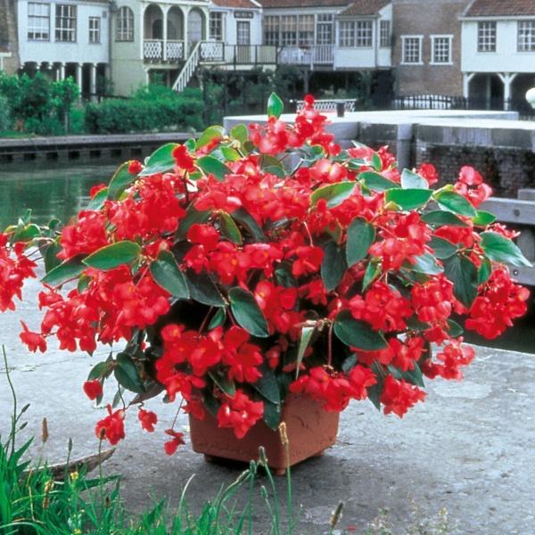 Begonia Dragon Wing ® F1 Red