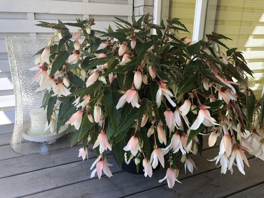 Begonia boliviensis Bonaparte White