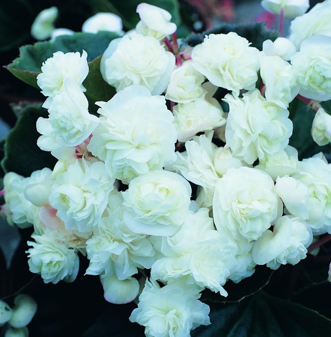 Begonia semperflorens Doublet® White