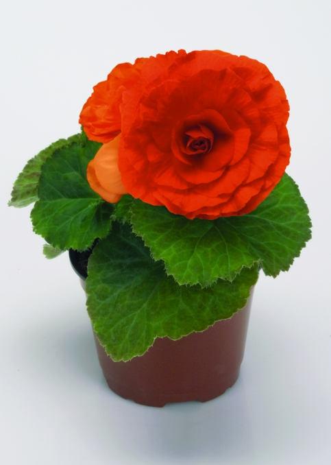 Begonia tuberhybrida GO!Early F1 Orange