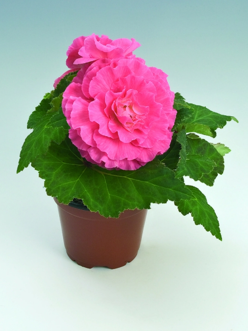 Begonia tuberhybrida GO!Early F1 Pink Shades