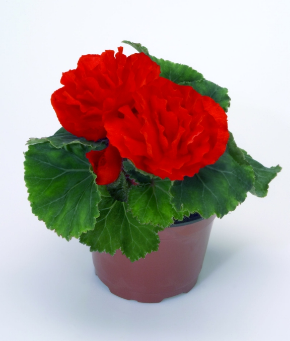 Begonia tuberhybrida GO!Early F1 Scarlet Red
