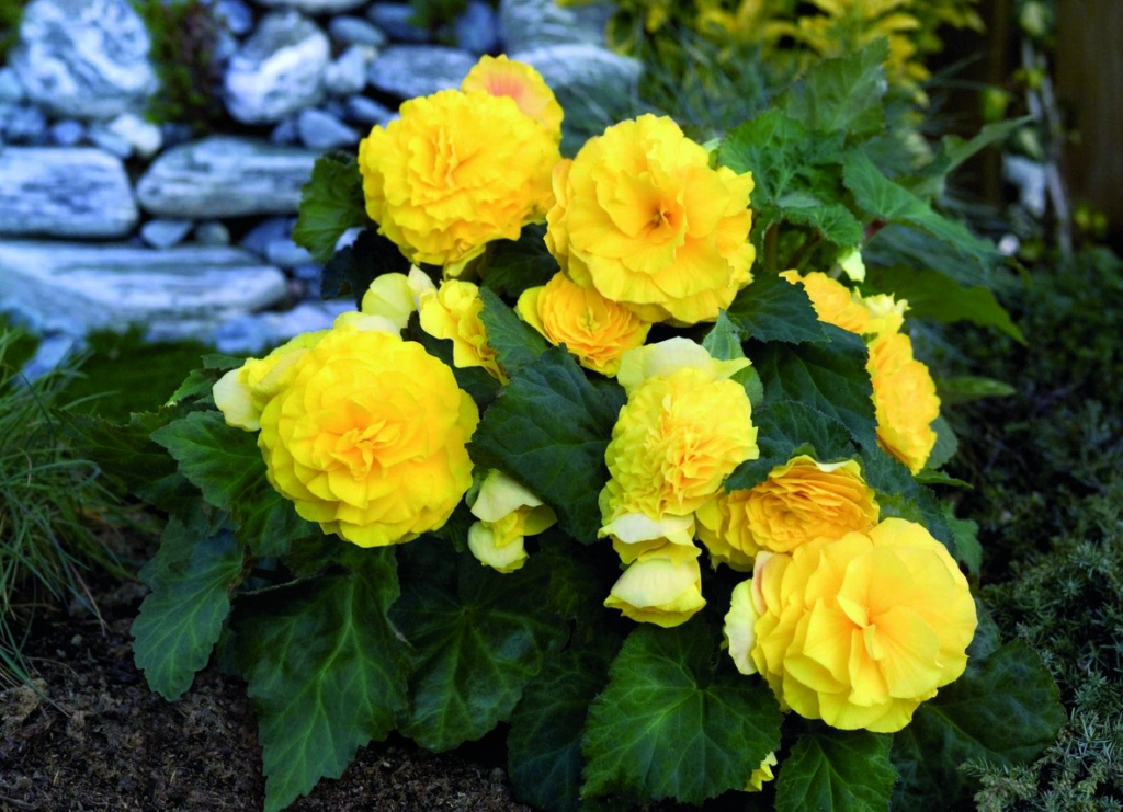 Begonia tuberhybrida GO!Early F1 Yellow