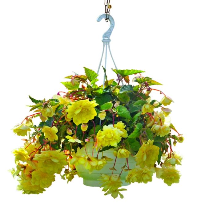 Begonia tuberhybrida Illumination F1 Lemon