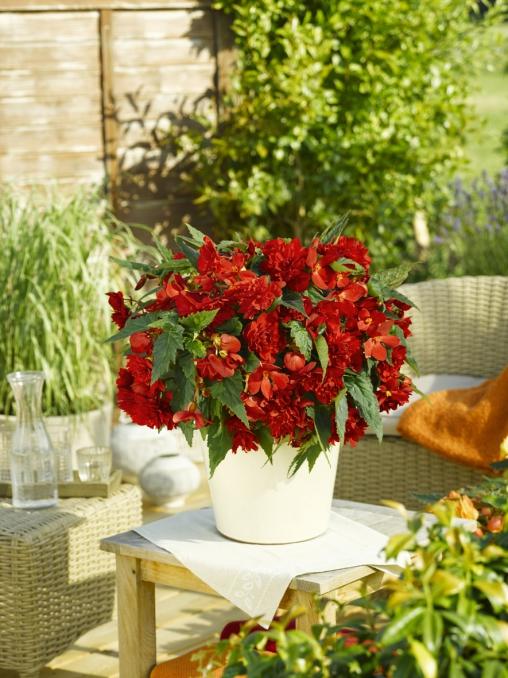 Begonia tuberhybrida Illumination F1 Scarlet