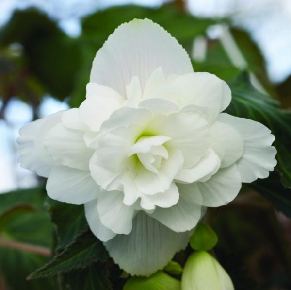 Begonia tuberhybrida Illumination F1 White