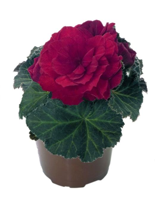 Begonia tuberhybrida Nonstop Mocca F1 Scarlet