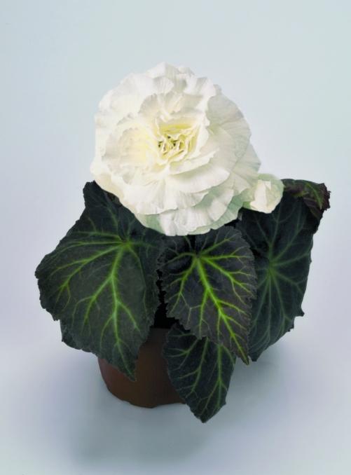 Begonia tuberhybrida Nonstop Mocca F1 White