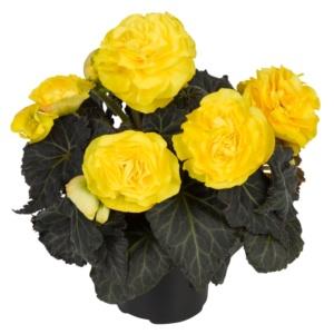 Begonia tuberhybrida Nonstop Mocca F1 Yellow