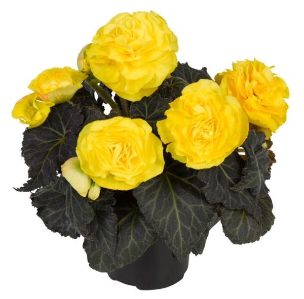 Begonia tuberhybrida Nonstop Mocca F1 Yellow