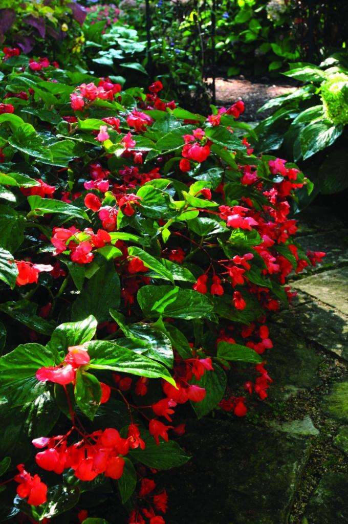 Begonia x-hybrida Dragon Wing Red