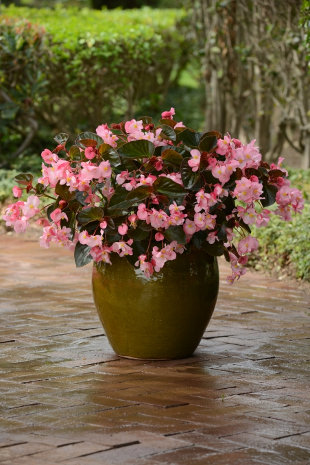 Begonia x-hybrida Megawatt Pink Bronze Leaf
