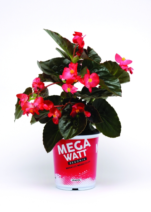 Begonia x-hybrida Megawatt Red Bronze Leaf