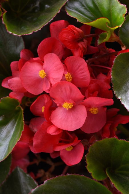 Begonia x-hybrida Megawatt Red Green Leaf