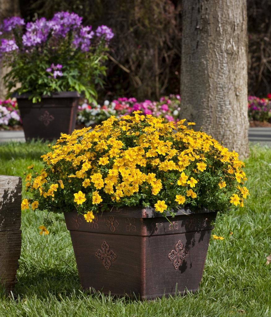 Bidens ferulifolia Yellow Sunshine