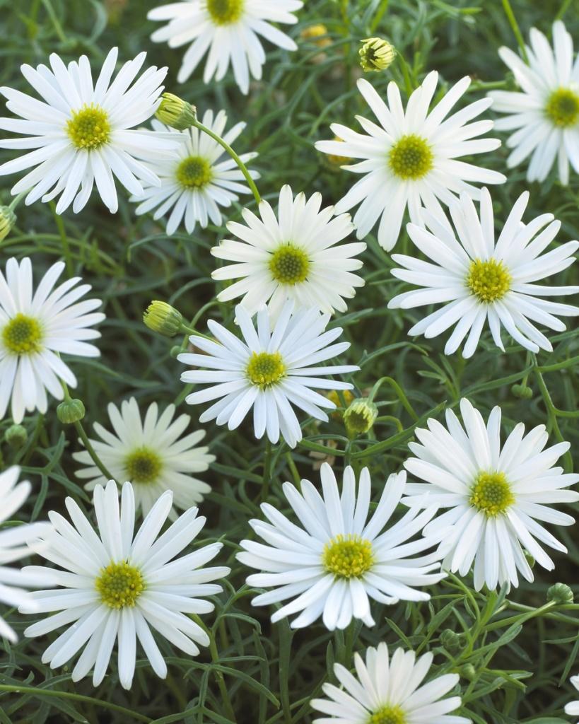 Brachyscome multifida Surdaisy White