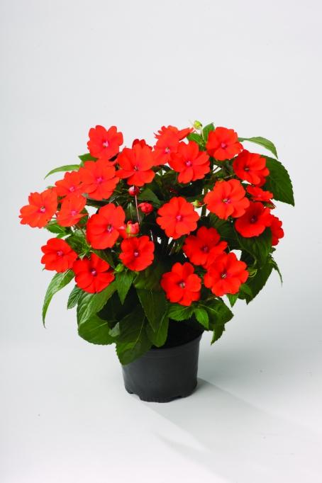 Impatiens New Guinea SunPatiens® Vigorous Orange