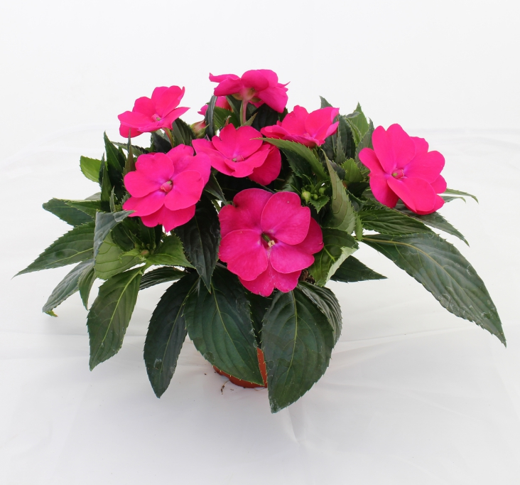 Impatiens New Guinea SunPatiens® Vigorous Rose