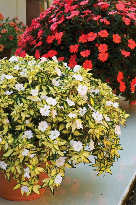 Impatiens New Guinea SunPatiens® Vigorous White