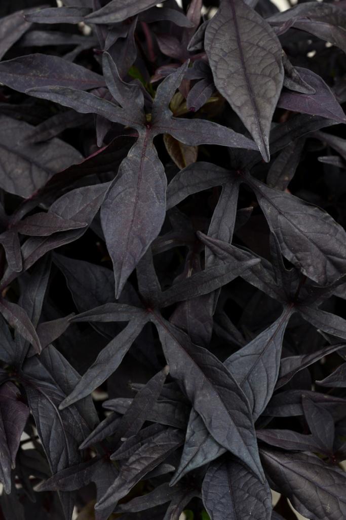 Ipomoea batatas SolarPower™ Black