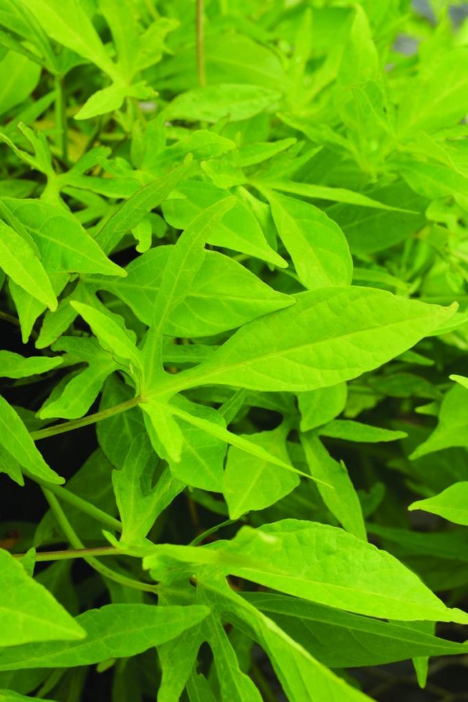 Ipomoea batatas SolarPower™ Green