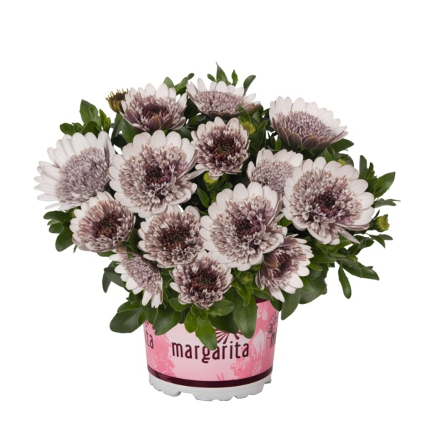 Osteospermum Margarita Double White