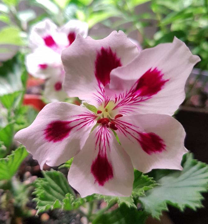 Pelargonium Grandiflorum Aristo® Purple Stripes