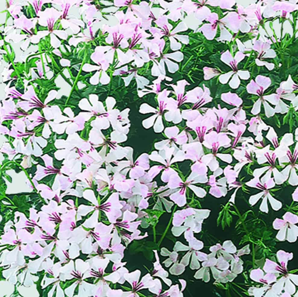 Pelargonium Peltatum Classic Single Ville Dresden