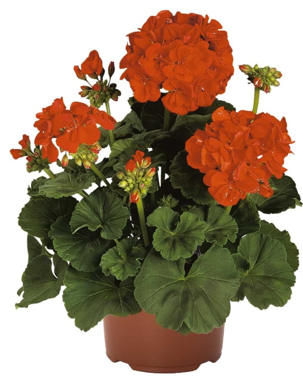 Pelargonium Zonale Green Series Praeludium