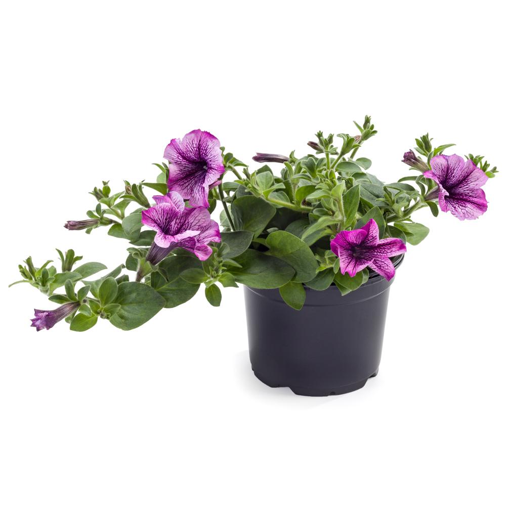 Petunia Surfinia® Classic Compact Purple Vein℗