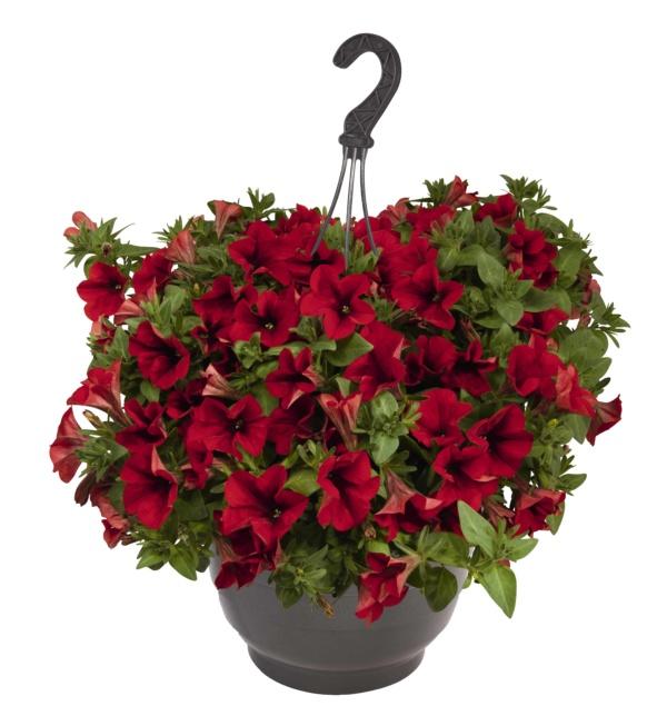 Petunia Surprise Red