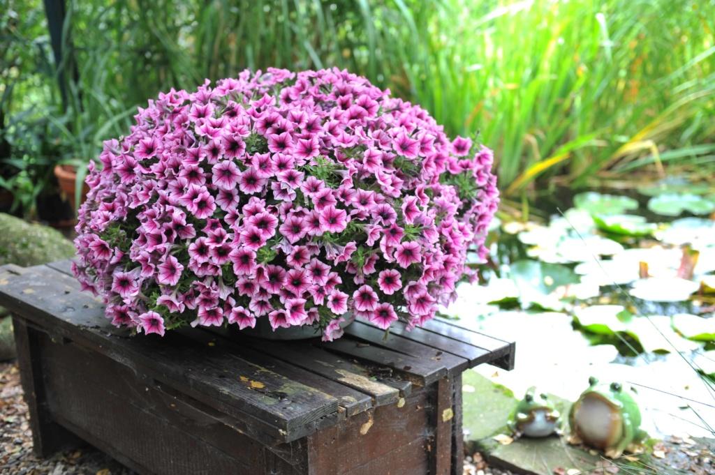 Petunia Sweetunia Burgundy Gem