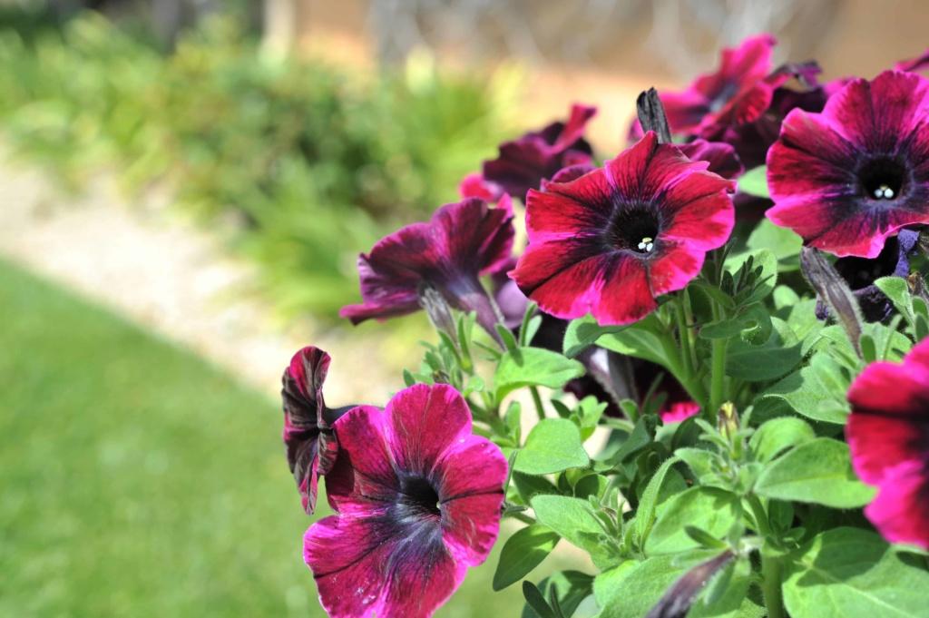 Petunia Sweetunia Johny Flame