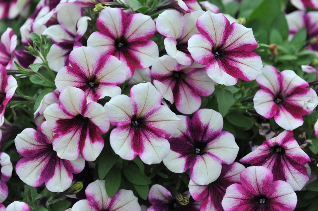 Petunia Sweetunia Purple Touch