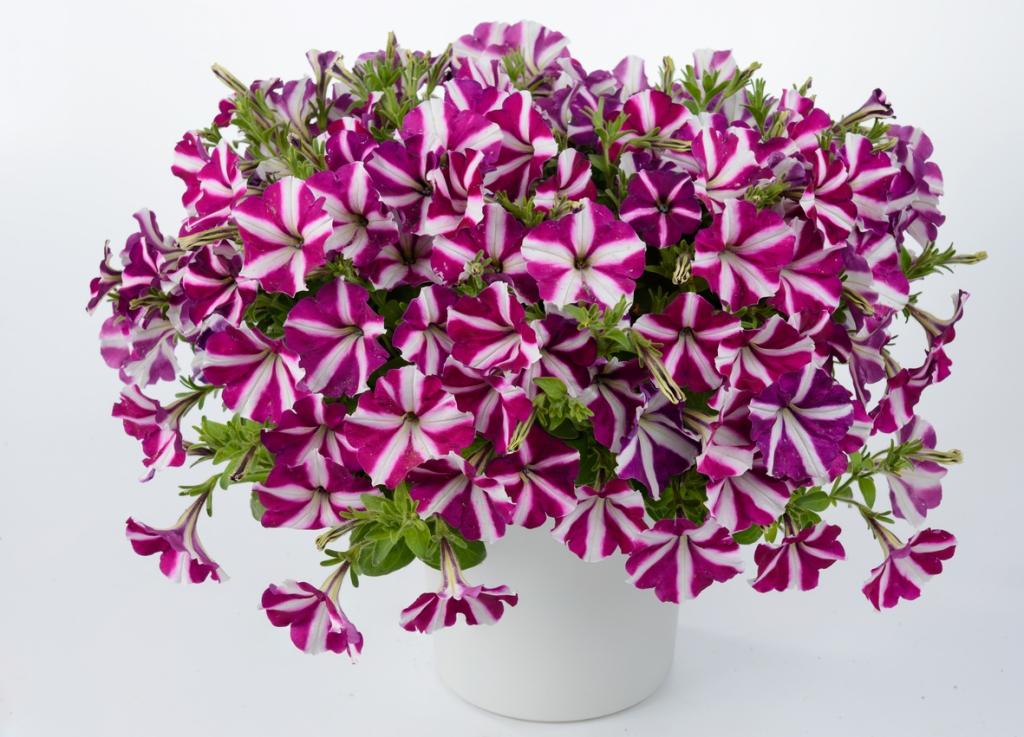 Petunia Grandiflora Amore®  Joy