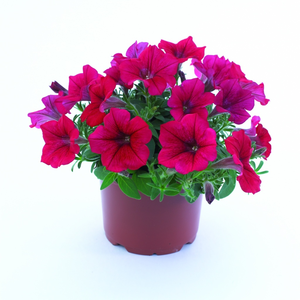 Petunia Grandiflora Surfinia® Compact Dark Red