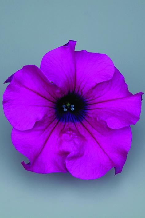 Petunia Grandiflora Surfinia® Giant Purple
