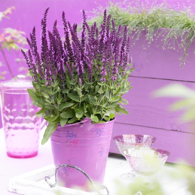 Salvia nemorosa Sensation Compact Bright Rose
