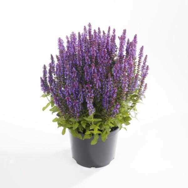 Salvia nemorosa Sensation Compact Deep Blue