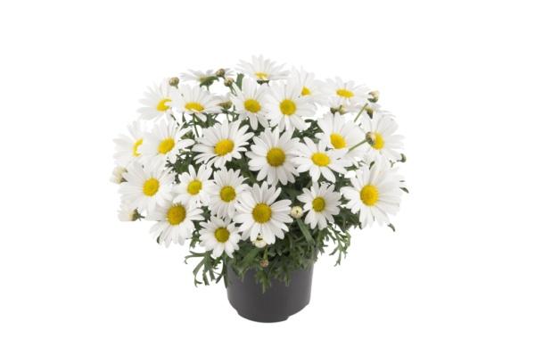 Argyranthemum frutescens Everest