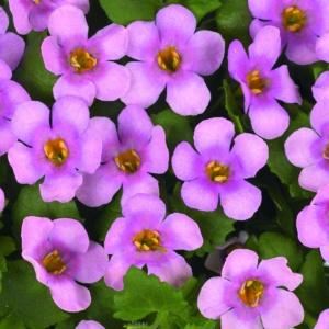 Bacopa Bahia Pink Halo