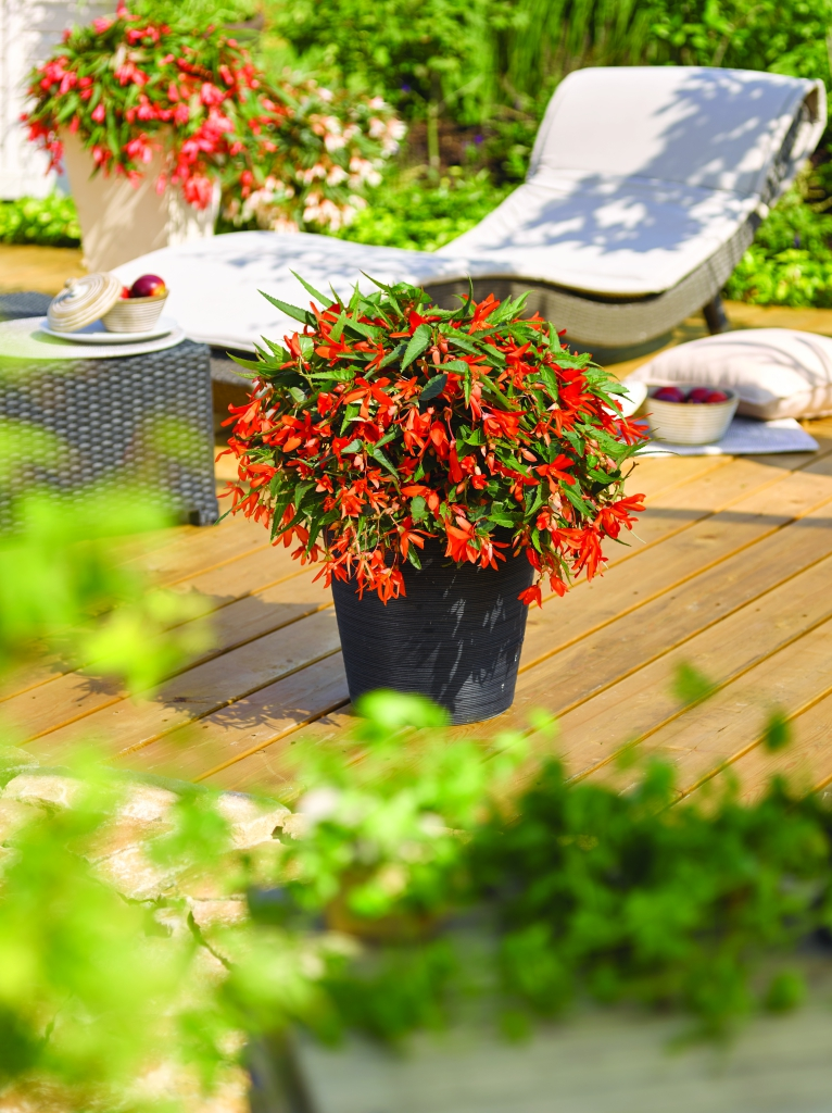 Begonia boliviensis Bonaparte Orange