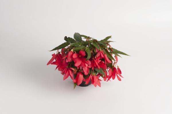 Begonia boliviensis Bonaparte Rose