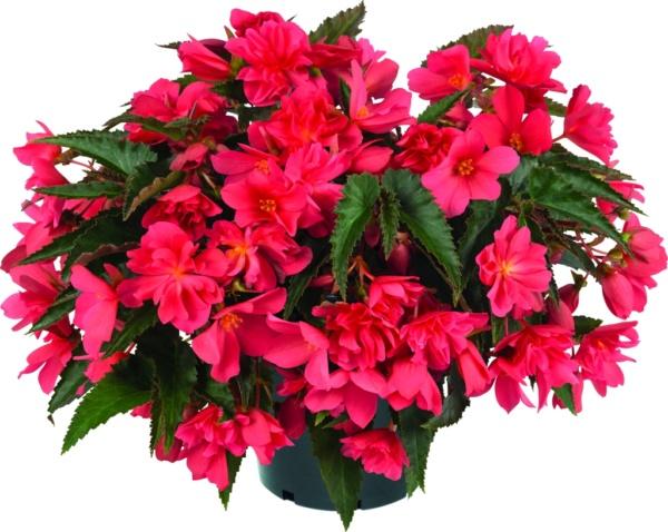 Begonia boliviensis Rivulet® Nogat