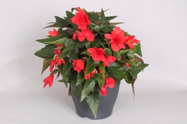 Begonia boliviensis Rivulet® Veramente