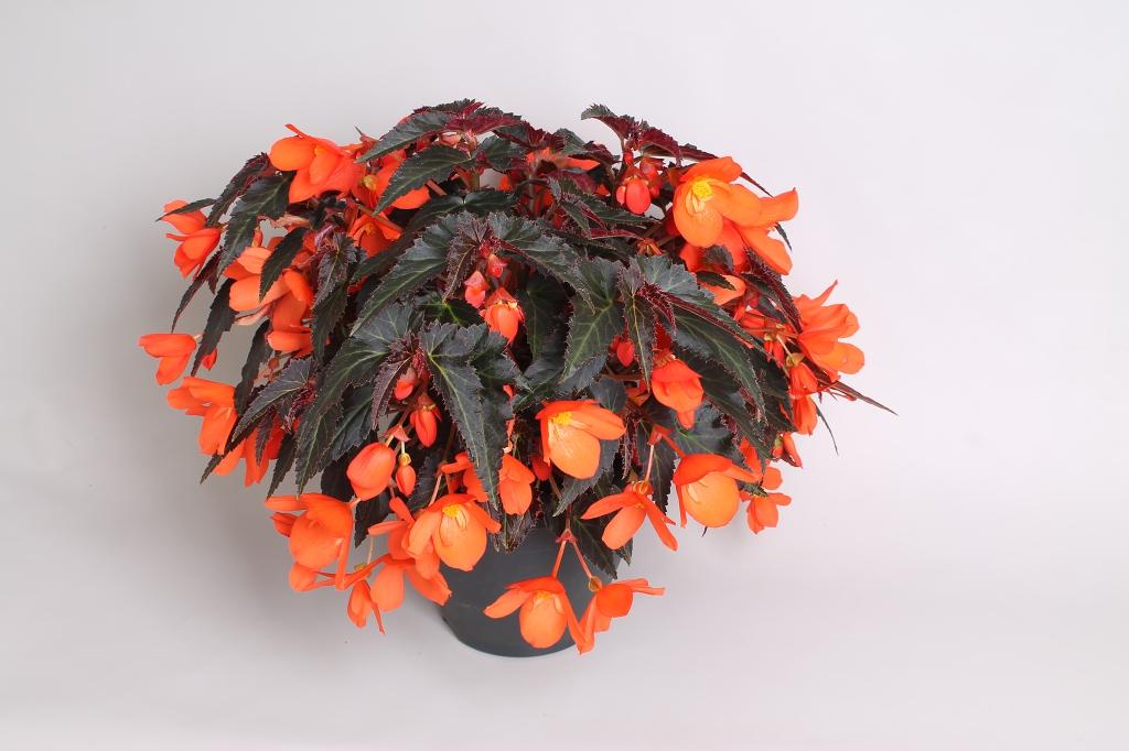 Begonia boliviensis Rivulet® Orange River